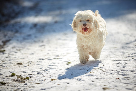 Havanese dog playing in the snow with ball 스톡 콘텐츠