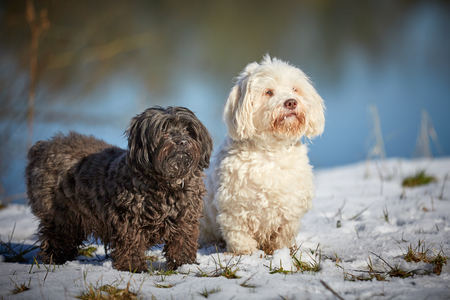 Black and White Havanese dogs in the snow Stock Photo - 126328918
