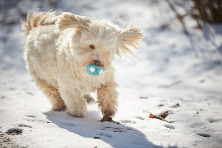 Havanese dog playing in the snow with ball Stock Photo - 126328923