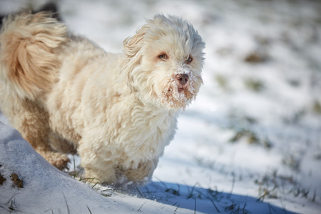 Havanese dog playing in the snow with ball Stock Photo - 126328928