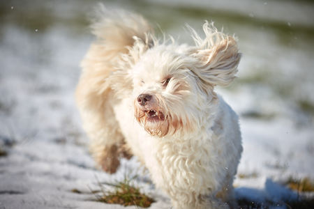 White havanese dog running in the snow in winter Stock Photo - 126328929