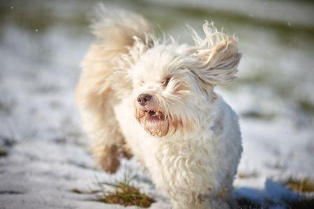 White havanese dog running in the snow in winter Stock Photo