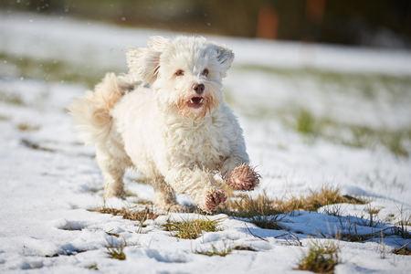 White havanese dog running in the snow in winter Stock Photo - 126328971