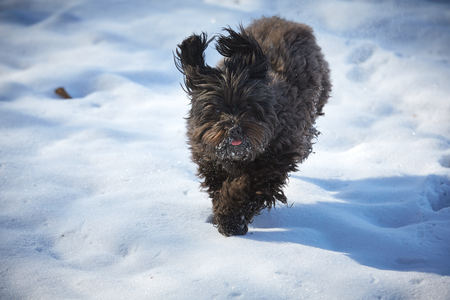 Havanese dog playing in the snow with ball Stock Photo - 126328977