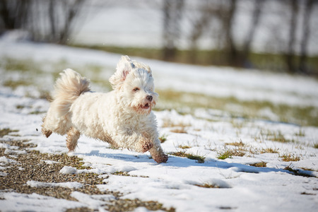 White havanese dog running in the snow in winter Stock Photo