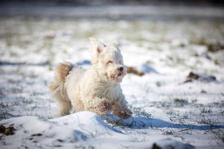 Havanese dog playing in the snow with ball Stock Photo - 126328944
