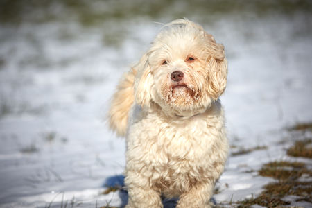 Havanese dog obedient waiting and looking outside in the snow Stock Photo - 126328946