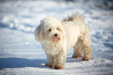 Black and White Havanese dogs in the snow Stock Photo - 126328947