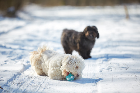 Havanese dog playing in the snow with ball Stock Photo