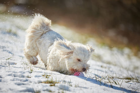 White havanese dog playing with red ball in the snow
