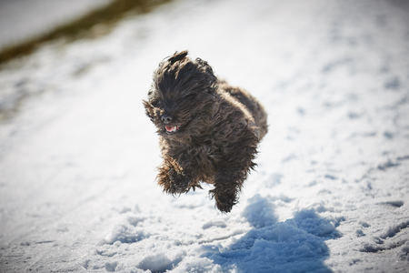 Black and White Havanese dogs in the snow Stock Photo - 126328950