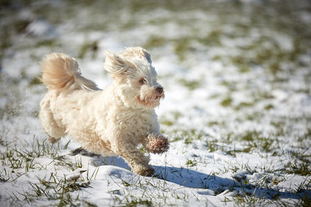 Havanese dog playing in the snow with ball Stock Photo - 126328951