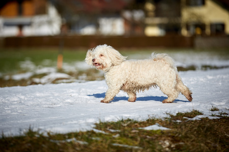 Black and White Havanese dogs in the snow Stock Photo - 126328956