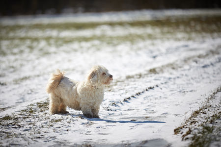 Havanese dog playing in the snow with ball Stock Photo - 126328957