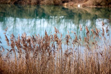 Reed at lake in winter Stock Photo - 126328958