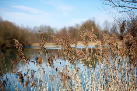 Reed at lake in winter