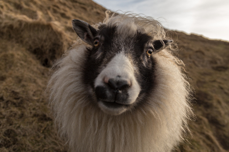 Traditional, long haired, white Icelandic sheep looking directly into the camera. it is on the side of a steep hill with brown winter vegetation. The sheep has an animated, cheeky expression.
