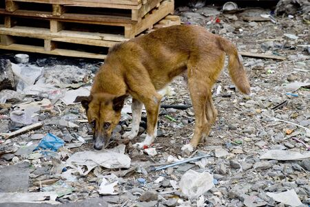 Sad looking street dog scavenging in rubbish.