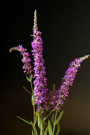 medicinal: Loosestrife Lythrum salicaria Medicinal Plant