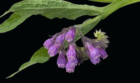 homoeopathic: Comfrey Common Medicinal Plant Stock Photo