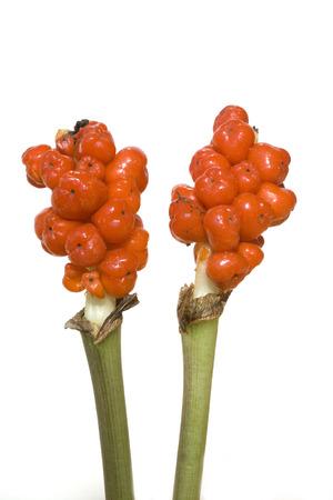 Arum Italicum poisonous plant