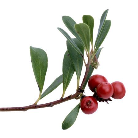 Arctostaphylos uva-ursi Medicinal Plant Stock Photo