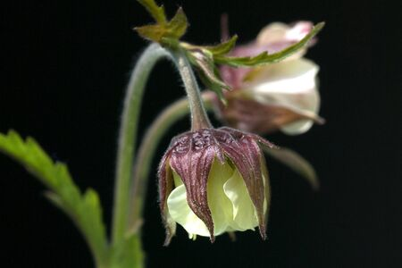 rival: Avens Geum rival plant Stock Photo