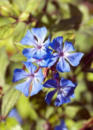 groundcover: Plumbago Cerastostigma plant
