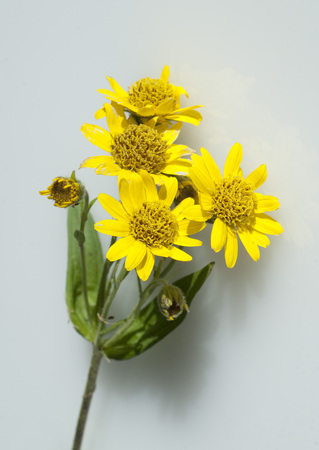 arnica: Arnica chamissonis plant Stock Photo