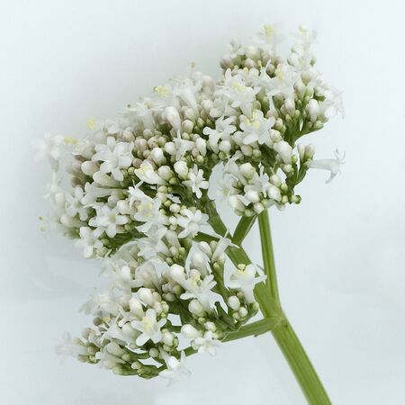 medicinal plant: Valerian officinalis medicinal plant