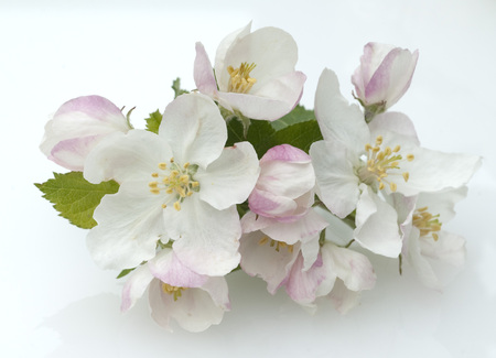 Apple Blossom plant