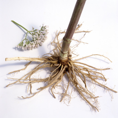 valerian plant: Valerian officinalis medicinal plant