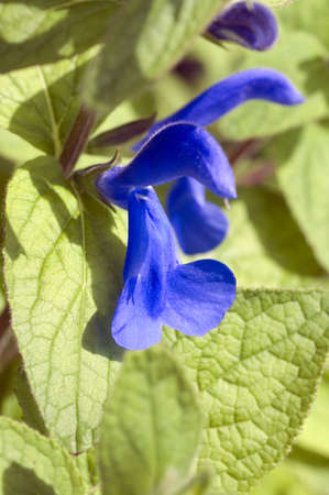 oceana: Salvia patens plant Stock Photo