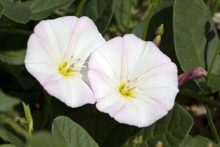 arvensis: Convolvulus; arvensis plant