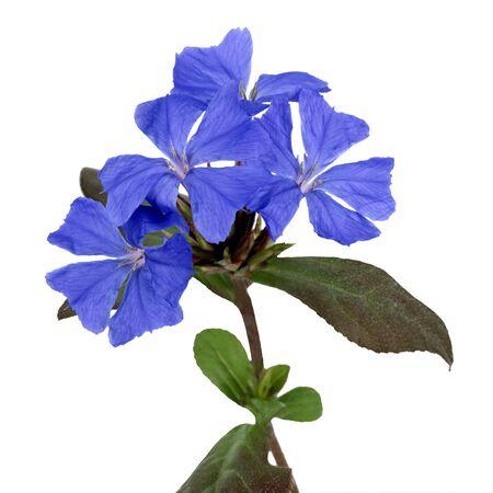 naturopathy: Plumbago Cerastostigma plant