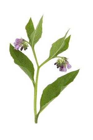 comfrey: Comfrey Common medicinal