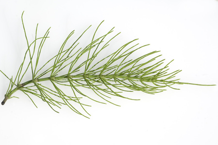 equisetum: Equisetum arvense Plant