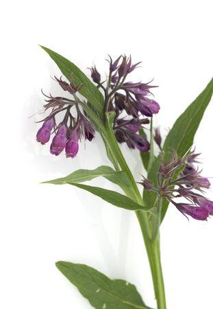 Comfrey Common medicinal Plant Stock Photo