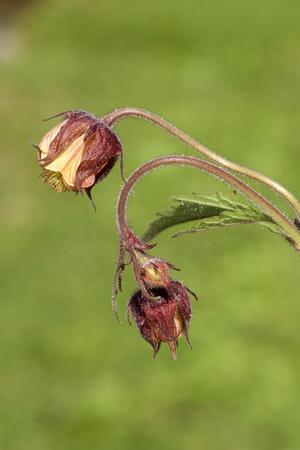 rival: Geum rival Plant
