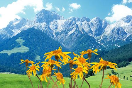 Arnica: Arnica montana Plant Stock Photo