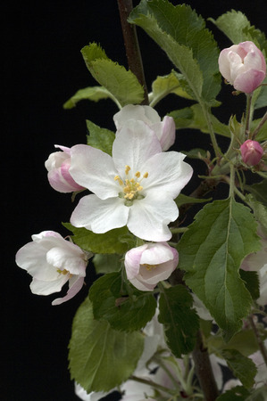 homoeopathic: Apple Blossom Plant