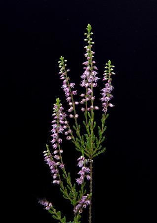 vulgaris: Calluna vulgaris Plant Stock Photo