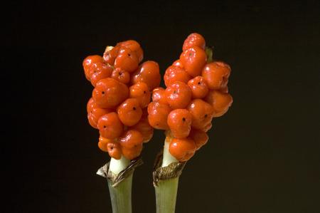 arum: Arum Italicum poisonous plant Stock Photo