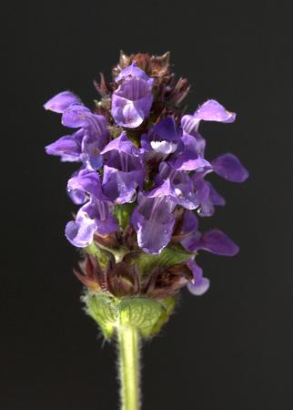 vulgaris: Prunella vulgaris Plant