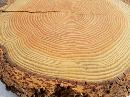 Annual rings of a tree disc that show the age of a tree. In this case the tree grate of a larch.