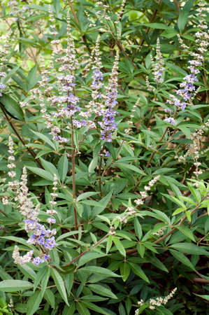 Chaste tree, Vitex agnus, is an important medicinal plant with blue or purple flowers and is used in medicine. Stok Fotoğraf