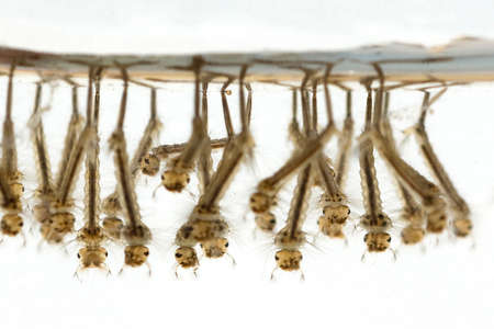 Mosquito larvae on the water surface, they are the larvae of mosquitos.