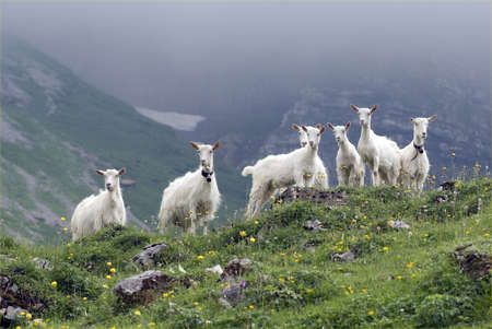 Appenzell goat is a type of goat that mainly lives in the Appenzellerland in Switzerland.