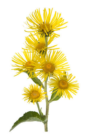 Alant, Inula Helenium, is a perennial with yellow flowers. It is an important medicinal plant and is also used in medicine.