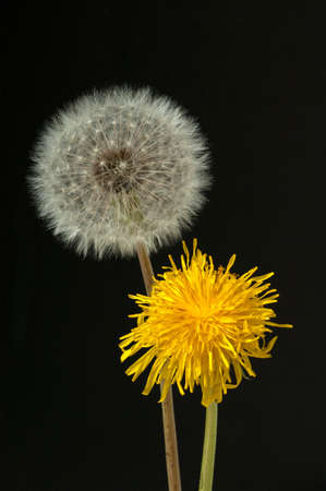 Taraxacum officinale as a wall flower, is a pioneer plant and survival artist that can also thrive on gravel roads.